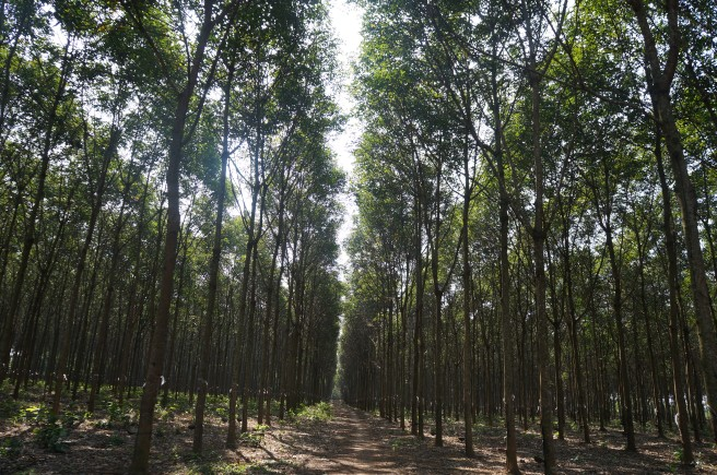 Rows and rows of carefully planted rubber trees